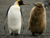 An adult king penguin and its chick