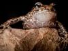 La Hotte Glanded Frog