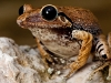 Macaya Burrowing Frog