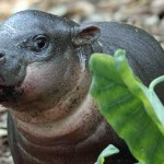 Video: Baby Pygmy Hippo welcomed at Taronga Zoo