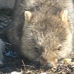 Video: Wombat in the wild