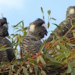 Citizen scientists in Perth help track Carnaby's Cockatoo