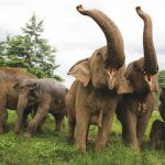 The shrinking giant: Time is running out for the Asian Elephant