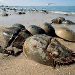 Living fossils: Long live the Horseshoe Crab