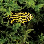 Video: Behind the scenes at Taronga's Corroboree Frog conservation program