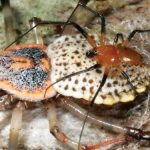 New spider species has biggest females