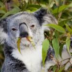 Renewed calls to protect koalas from habitat loss, disease