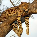 How leopards got their spots