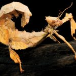 Backyard Bugs: Macleay's Spectre Leaf Insect