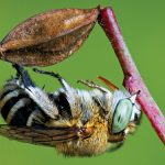 Backyard bugs: Meet the Blue Banded Bee