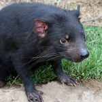 Tasmanian devils head north to new home