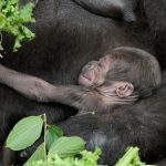 A precious baby gorilla for Taronga Zoo