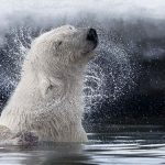 Photographing the polar bears of the High Arctic
