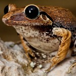 Lost frogs have been rediscovered in Haiti