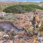 Giant rabbit once ruled Minorca