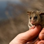 Hybrid Mountain Pygmy-possums give scientists hope
