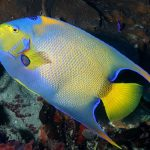 Tropical fish rely on adult traits for dispersal