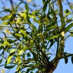 Fire regimes threaten mistletoe