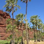 Outback palms may have been introduced by humans