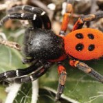 The elusive ladybird spider