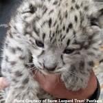Snow leopards found in den