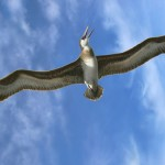 Gigantic seabirds once glided over the Australian coast