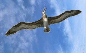 Artist rendition of Australian pelagornis in flight. Image: Peter Trusler/ Museum Victoria