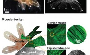 A comparison between a jellyfish and the silicone-based Medusoid. Image: Caltech/Janna Nawroth