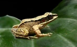 Torrent frog