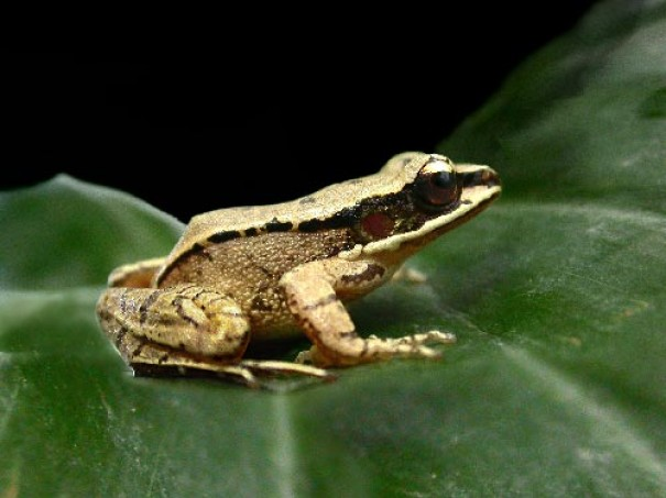 Frogs inspire hearing aid idea