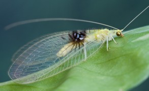 Green lacewing adults feed on flowers. Image: Hock Ping Guek