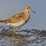 Choosy females attracted to sleep deprived male sandpipers