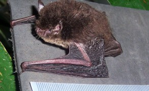 Myotis muricola from Kuningan, West Java. Otherwise known as the wall-roosting mouse-eared bat, it is a species of vesper bat. Image: Universiti Putra Malaysia