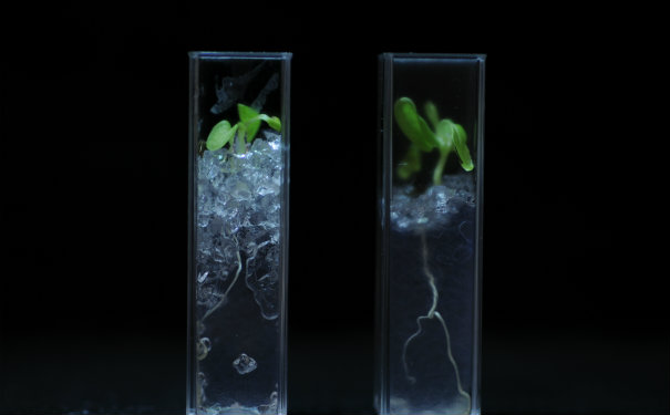 Nafion has a low refractive index and high transparency, making it ideal to observe the plant roots through. Image: Lionel Dupuy