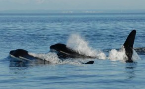 Why do whales and humans have such long menopause?
