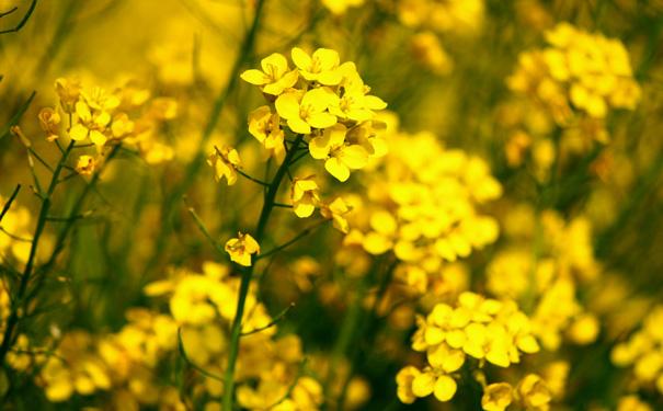 mustard plants produce glucosinolate to repel bugs image shutterstock
