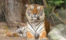 Tigers on the brink of extinction
