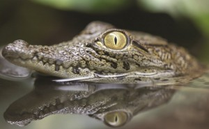 croc-lurking