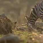 Leopard v Zebra