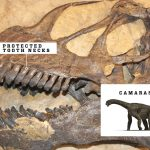 Giant Camarasaurus dinosaurs had beaks