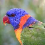 Lorikeets rule as 4.6 million birds are counted in 7 days
