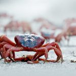 Why do Christmas Island crabs swarm every year?